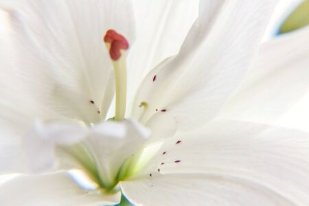 Photo pour Beautiful White Lily flower close up detail in summer time. Background with flowering bouquet. Inspirational natural floral spring blooming garden or park. Ecology nature concept - image libre de droit