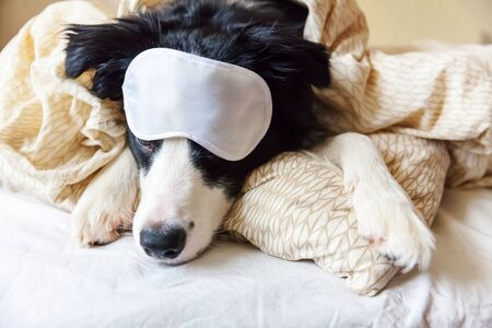 Photo for Do not disturb me let me sleep. Funny puppy border collie with sleeping eye mask lay on pillow blanket in bed. Little dog at home lying and sleeping. Rest good night insomnia siesta relaxation concept - Royalty Free Image
