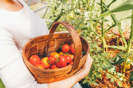 Foto für Gardening and agriculture concept. Woman farm worker hands with basket picking fresh ripe organic tomatoes. Greenhouse produce. Vegetable food production. Tomato growing in greenhouse - Lizenzfreies Bild