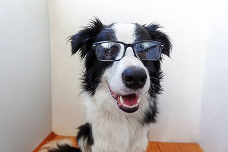 Photo for Studio portrait of smiling puppy dog border collie in eyeglasses on white background at home. Little dog gazing in glasses indoor. Back to school. Cool nerd style. Funny pets animals life concept - Royalty Free Image