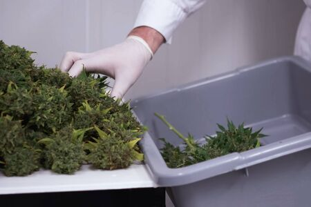 a Folding raw freshly picked cannabis inflorescences for drying. Cooking marijuana for medical purposes.