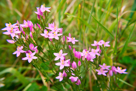 Pink  inflorescence of Common centaury ( gentian)