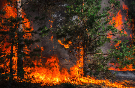 Foto per fire. wildfire, burning pine forest in the smoke and flames. - Immagine Royalty Free