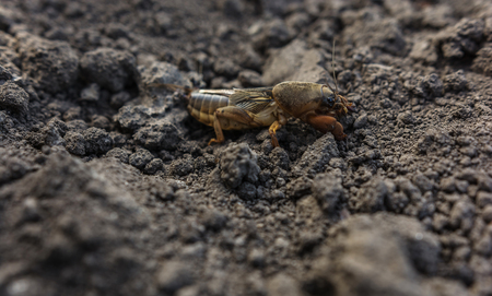 An earthy agricultural pest insect on the ground