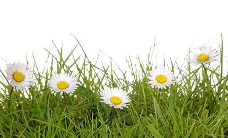 a meadow with daisies before white background