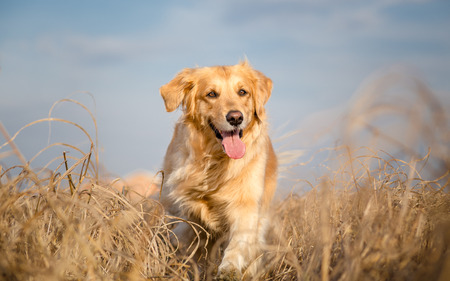 Photo pour Golden retriever dog running outdoor - image libre de droit