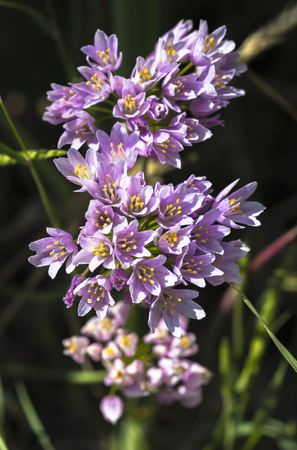 Flowers of a wild rosy garlic plant