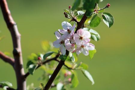 Blooming apple tree in the springtime