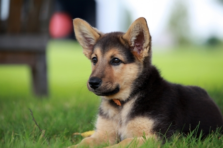German shepherd puppy relaxing on a warm summer day