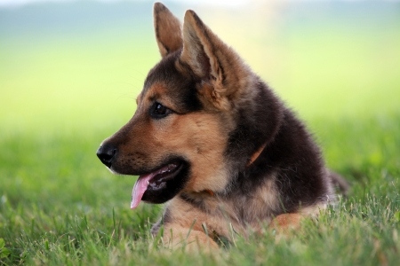 Watchful german shepherd puppy