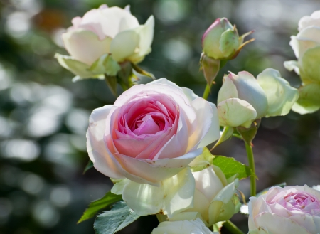 Flowers  white rose with pink middle