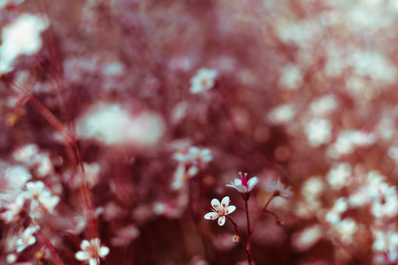 Photo for Gypsophila flowers. Baby s breath or Gypsophila is beautiful flower in the carnation family on blurred floral nature backgrounds. Close up shot small delicate flowers in garden, selective soft focus. - Royalty Free Image