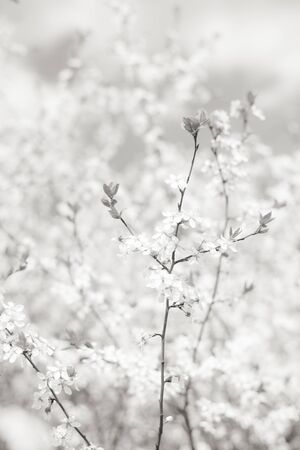 Photo pour Springtime blossom floral background, cherry tree branch in bloom. Delicate white flowers and small young leaves. Black and white vertical image, soft selective focus. - image libre de droit
