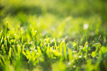 Photo pour Green grass in drops of early morning fresh dew on field. Natural summer meadow background. Green lawn ecosystems. Selective soft focus. Springtime freshness concept - image libre de droit