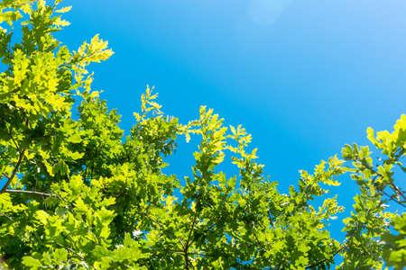 Photo pour Branches of oak tree with green foliage against blue sky - image libre de droit