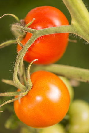 Photo pour Closeup on two ripe organic tomatoes on the vine on green background. Summer Into a french Brittany garden of the house. - image libre de droit