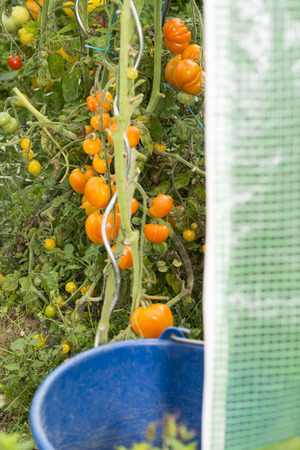 Photo pour Closeup of blue bucket with view into little greenhouse with various organic specie of Growing tomatoes inside. Summer Into a french Brittany garden of the house. - image libre de droit