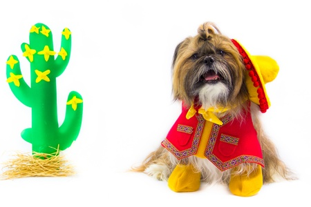 Dressed as a gaucho, a Shih Tzu wears a sombrero, vest, neckerchief and boots.