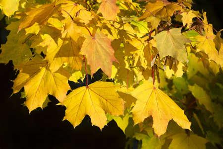 HerbstblÀtter eines Ahorn