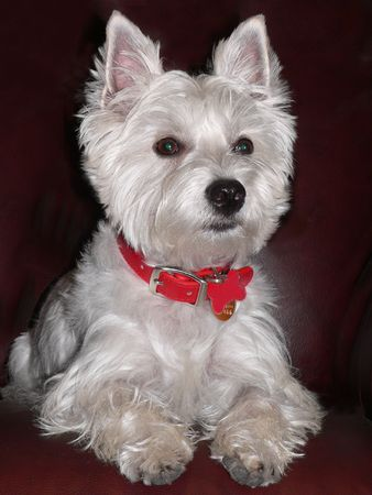 West Highland Terrier Portrait.