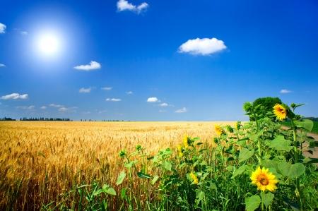 Foto für Amazing summer landscape with cereals field,sunflowers  and fun sun.         - Lizenzfreies Bild