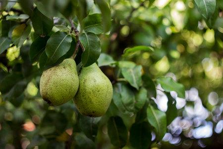 Foto für Ripe green pears grow on the tree in the garden, healthy vegetarian fruit - Lizenzfreies Bild