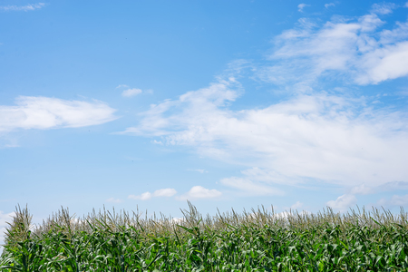 Photo pour Close up Corn field in the countryside. Many young maize grown for sale. Copy space - image libre de droit
