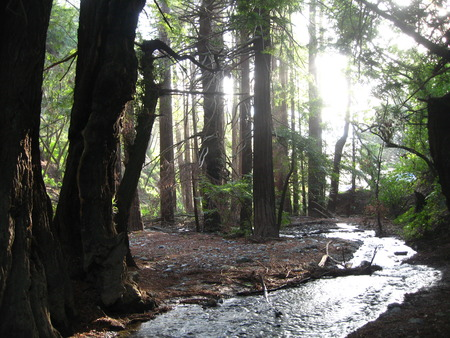 The forest at Big Sur