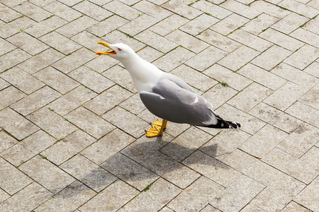 Photo for One seagull with white gray plumage and yellow beak and legs strolls on the street of a seaside city on a sunny day. Wild sea bird on the sidewalk. - Royalty Free Image