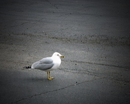 Seagull scavenging in a parking lot