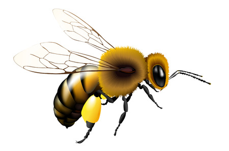Illustration pour Vector illustration of bee with transparent wings for any background - isolated on white - image libre de droit