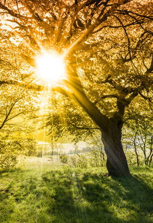 Photo pour Morning sun rays through tree branches - spring or summer nature motive - image libre de droit