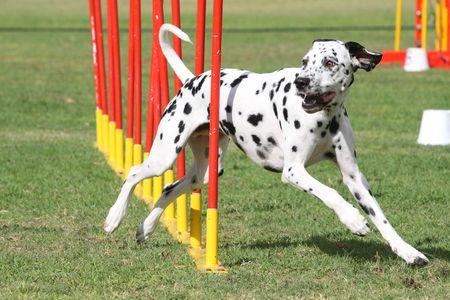 Dog Agility 6