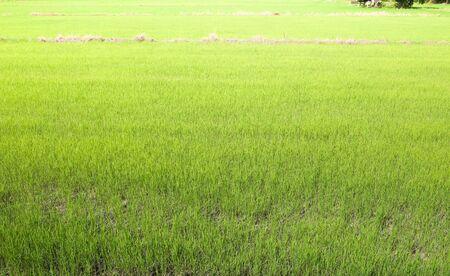 Foto de green rice field, natural background. - Imagen libre de derechos