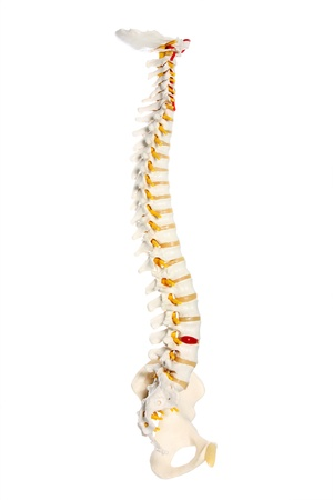 A picture of a human spine preparation over white background