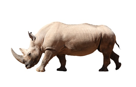 Photo for A picture of a big rhino standing against white background - Royalty Free Image