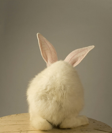 Foto für Portrait of a white rabbit with standing with the back at the camera on grey background - Lizenzfreies Bild
