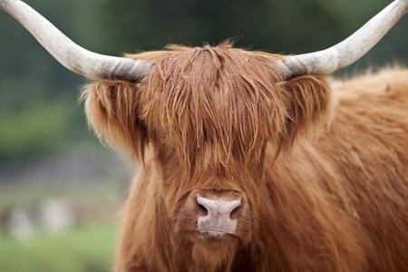 Scottish Highland Cattle.