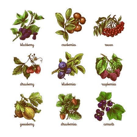 Illustration pour Natural organic berries set of rowan gooseberry currant colored sketch isolated vector illustration - image libre de droit