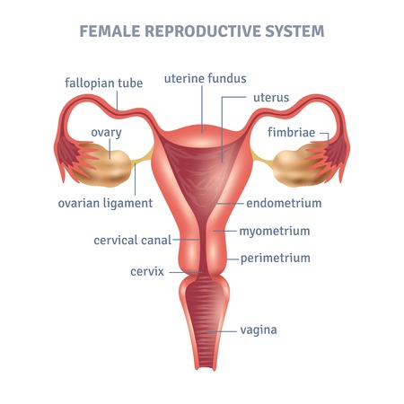 Illustration for Uterus medical poster with female reproductive system scheme on white background flat vector illustration - Royalty Free Image
