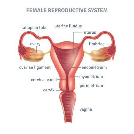 Illustration pour Uterus medical poster with female reproductive system scheme on white background flat vector illustration - image libre de droit