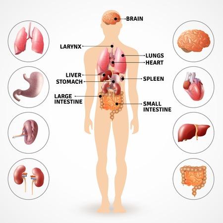 Illustration pour Medical poster depicting human anatomy internal organs on light background flat vector illustration - image libre de droit
