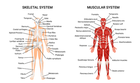 Ilustración de Muscular and skeletal systems anatomy chart. Complete educative guide poster, displaying human figure from front vector illustration. - Imagen libre de derechos