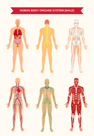 Illustration pour Male body internal organs circulatory nervous and skeletal systems anatomy and physiology flat educative poster vector illustration - image libre de droit