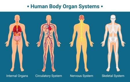 Ilustración de Human body internal organs circulatory nervous and skeletal systems anatomy and physiology flat educative poster vector illustration - Imagen libre de derechos