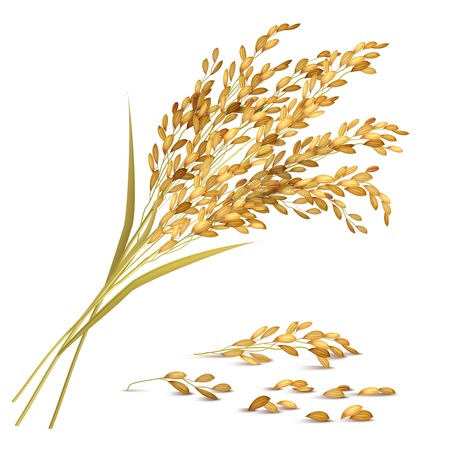 Illustration pour Rice ears and grain with harvest and agriculture symbols realistic vector illustration - image libre de droit