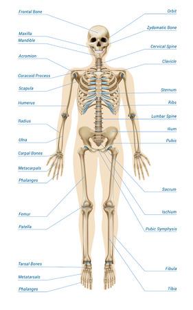 Illustration pour Realistic human skeletal system with letterings of bones infographics on white background vector illustration - image libre de droit