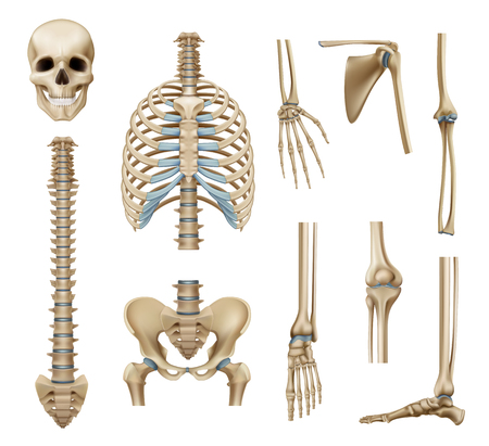 Illustration pour Realistic human skeleton parts set with skull spine scapula bones of pelvis and limbs isolated vector illustration - image libre de droit
