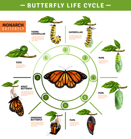 Ilustración de Butterfly life cycle infographics layout  illustrated developing stage of monarch species from eggs to emerging vector illustration - Imagen libre de derechos