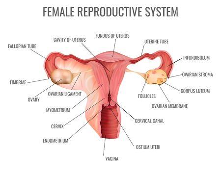 Illustration pour Female reproductive system and its main parts on white background realistic vector illustration - image libre de droit